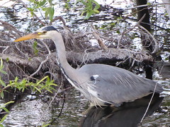Heron in Shade (miketransreal) Tags: ardea cinerea grey heron