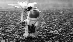Alien species: Paramaternitia Bloomalthalia (minifigphoto) Tags: lego legophotography legoart miniatureart miniaturephoto minifigs cute kawaii legomoc legoland afol minifigure legoaddict legoaddiction legolove legofun upclose macro toyphotography lovephotography geek toyphotographers alien species flower eternal