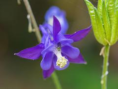 ... (isabel cabezas cabezas) Tags: aquilegia vulgaris