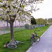 Bikes under Cherry Blossom in Outskirts of Karlsruhe
