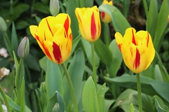 Tulips (Annemarijs) Tags: tulpen tuin tuinplanten bollen bulbs