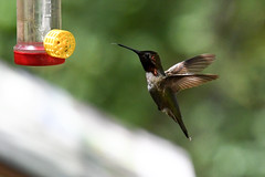 I Want to Get a Taste First!!! (rxtorun) Tags: silverado california unitedstates us nikond500 adobelightroom hummingbird orangecounty tuckerwildlifesanctuary annashummingbird calypteanna