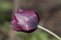 Tulpe (milance1965) Tags: tulpe frühling flower tulpa lala blume makro macro canon 50d tamron 90mm milance vuckovic natur
