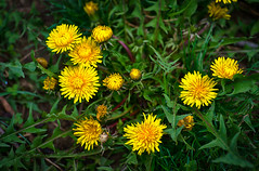 Dandelions-4.27 (desouto) Tags: nature landscape rivers lakes sky trees fog rain wildflowers yellow dreary quiet