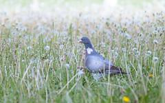 Common wood pigeon (Inka56) Tags: jupiter21m pigeon commonwoodpigeon dandelions field bird oldlens bokeh