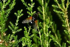 Mesembrina meridiana, la mésembrine du midi. (chug14) Tags: animalia arthropoda hexapoda insecta diptera muscidae brachycera muscinae muscini mésembrinedumidi muscameridiana mesembrinameridiana