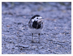 B57I1295-Pied-Wagtail,-Motacilla-alba-ssp-yarellii (duncancooke.happydayz) Tags: grey wagtail alba birdperfect distinguishedbirds bird birds hay bridge uk british amazingwildlifephotography wildlife
