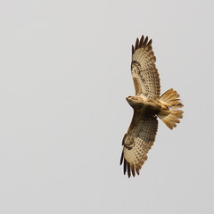 Buzzard (markwright12002) Tags: may dorset buzzard wareham 2013 mordenbog