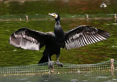 Great Cormorant Phalacrocorax Carbo (Nemodus photos) Tags: bird animals national cormorant animaux oiseau geographic nationalgeographic cormoran fz50 grandcormoran greatcormorant