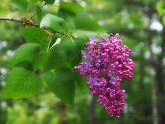 5.21.13: Rainy-day Lilacs (Ruff Edge Design) Tags: flowers overlay raindrops cropped lilacs gaussianblur luminosity coloredpencilfilter