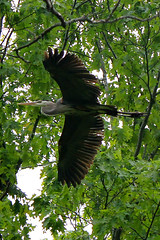 Great blue heron overhead (cheryl.rose83) Tags: bird heron flying flight greatblueheron broadmoorwildlifesanctuary