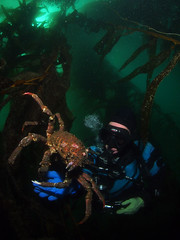 Stepping from the Kelp (NirupamNigam) Tags: underwater wideangle kelp scubadiving southerncalifornia anacapa kelpforest scubadiver sheepcrab californiadiving northernchannelislands