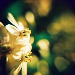 Holga Macro Success (Cris Ward) Tags: flowers white blur flower colour macro 120 6x6 film closeup mediumformat square petals holga lomo xpro lomography crossprocessed focus warm close blossom bokeh crossprocess shift slide squareformat crossprocessing bloom flowering crossed colorshift holga120cfn colourshift lomolab ml60 lomographyxproslide200 lomographyuk