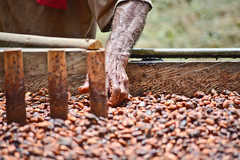 (Numa Roades) Tags: chocolate venezuela miranda cacao barlovento