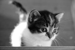 Iola (Gypsy Cob) Tags: blackandwhite bw cats monochrome cat favoriten blackwhite chats kitten chat noiretblanc favorites katze 500views 500 katzen yourfavorite duagwyn favorieten blackwhitephotos over500views bisig kazh ffefrynnau catmoments duhagwenn kizhier dubhagusgeal
