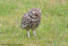 LittleOwl_16062013_4a (Kim Wall Photography (Purplesun2001)) Tags: somerset littleowl nyland kimwallphotography