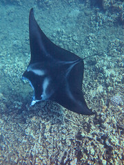 glide (bluewavechris) Tags: ocean life sea nature water animal coral swim canon hawaii marine ray underwater snorkel wildlife tail dive wing maui reef creature manta glide freedive g1x
