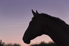 Early Riser (partridge10) Tags: horse silhouette sunrise profile intelligence thoroughbred equine