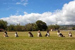 Collie Club of Hawaii , Oahu 7 (Julie Thurston) Tags: usa dog holiday playing dogs club train training hawaii furry collie picnic waikiki oahu sheltie sable 4th running fourthofjuly honolulu rough tri handler trainer 4thjuly furrydog hawiian bluemerle dogsplaying tricolored roughcollie dogtrainer ilovehawaii 2013 hawaiiclub collieclub hawaiicollieclub hawaiidogtrainer collieclubofhawaii hawaiicollie