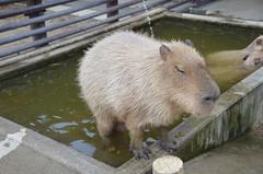 18 & (Tokutomi Masaki) Tags: trip travel animal zoo chiba otter  capybara  ichikawa    2013  18