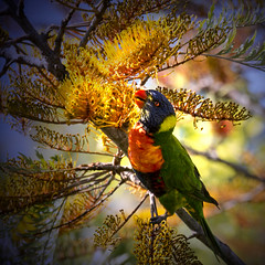 colours of an australian spring (Fat Burns (on/off)) Tags: bird fauna lorikeet parrot bottlebrush rainbowlorikeet grevillea bluey australianbird silkyoak australianfauna australianparrot bluemountainlorikeet toothbrushplant