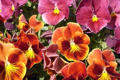 El color de los pensamientos (carpomares) Tags: flores vegetación pensamientos