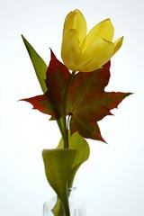 Tulips (27) (arfi_arfi) Tags: flowers autumn red plants plant flower color macro green art nature colors beauty yellow leaf petals tulips artistic blossom tulip artisticphotography flowerart flowerscolors amazingdetails