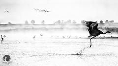 Fly away (warmianaturalnie) Tags: bw white black bird nature landscape crane poland warmia