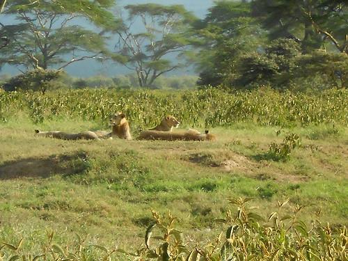 Lions in Nakuru Park
