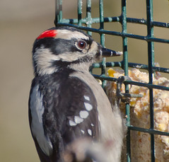 Fly in Window.Explored (Omygodtom) Tags: park autumn red wild bird art nature woodpecker nikon 70300mm oaksbottom