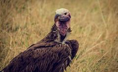 Vulture, Masai Mara (Kenya) (FGM Estudio) Tags: africa bird nikon kenya aves safari mara vulture nikkor kenia masai scavenger buitre 18300 carroero