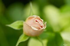 在我心裡的玫瑰 The Rose In My Heart (Anna Kwa) Tags: macro art nature rose marina singapore flowerdome gardenbythebay 心里的玫瑰