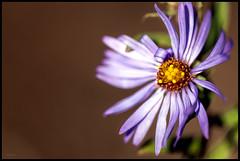 One Petal: Curled (MisterQueue) Tags: flower macro nature purple lavender reserve petal mo shaw shawnaturereserve misosuri