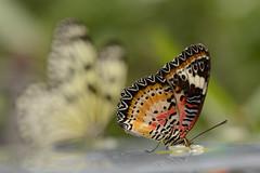 D.o.B. (Rene Mensen) Tags: butterfly zoo emmen vlinder ricepaper dierentuin vlindertuin leopardlacewing mygearandme mygearandmepremium mygearandmebronze mygearandmesilver mygearandmegold mygearandmeplatinum mygearandmediamond blinkagain