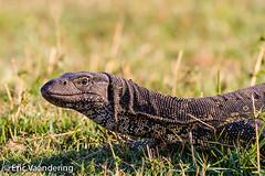Nile Monitor (ericvaandering) Tags: animals lizards nilemonitor reptiles northwest botswana