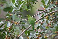 Greater green leafbird (female) (Chloropsis sonnerati) (Zaharil/ Texas) Tags: bird nature animal fauna forest southeastasia wildlife mangrove tropical biodiversity avifauna vertebrate diurnal peninsularmalaysia westmalaysia leastconcerniucnredlist