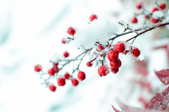 January 30, 2014 | {030/365} (bianca.ghergut) Tags: winter red white snow nature 35mm berry day30 project365 nikond7000