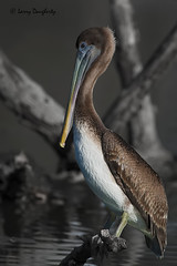 A pelican at New Orleans City Park......D700. (Larry Daugherty) Tags: nikon neworleans ngc aves pelican npc brownpelican animalia pelecanidae pelecaniformes pelecanusoccidentalis chordata neworleanscitypark d700 poccidentalis nikond700 nikon17xtc mygearandme nikon500mmf4lens