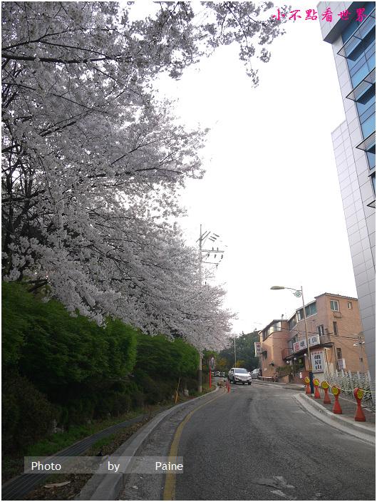 首爾鞍山公園櫻花道안산공원벚꽃길 (3).JPG