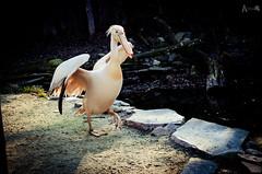 pelican (alisiaelf) Tags: bird zoo pelican