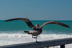 Doing the Hokey Pokey (Jocey K) Tags: newzealand christchurch sky wings dancing seagull newbrighton newbrightonpier