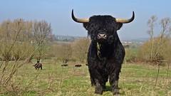 En Garde (Daphne-8) Tags: cow galloway kuh bull stier black schwarz landscape landschaft hügel hills spring frühling horns close animal vieh cattle tier rind