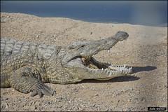 Crocoloco-IZE-209 (Zachi Evenor) Tags: zachievenor israel crocoloco crocolocofarm crocodilefarm crocodiliansfarm crocodile nilecrocodile crocodylusniloticus crocodylus niloticus crocodilia crocodilians haarava riftvalley צחיאבנור ישראל קרוקולוקו חוותקרוקולוקו חוותתנינים חוותתנינאים תניןהיאור תנין היאור תנינים קרוקודיל קרוקודילים תנינאים הערבה 2017 hatzeva 20170221