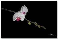 FEBRUARY 2017-020380-222 (Nick and Karen Munroe) Tags: orchid flowers buds plants blackintheback karenick23 karenick karenandnickmunroe karenmunroe karenandnick karen nikon nickandkarenmunroe nickmunroe nature nikond750 munroedesignsphotography munroedesigns munroephotography munroe beauty beautiful brilliant blossoms brampton lovely love flower flowering blooms ontario canada colour color nikon85f18