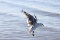 Silver gull in flight (natalia.bird_nerd) Tags: bird birdinflight silvergull gull water ocean portphillipbay morningtonpeninsula blairgowrie
