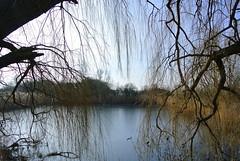 Fischteich (ivlys) Tags: biebesheim fischteich fishpond trauerweide weepingwillow wasser water baum tree eis ice landschaft landscape nature ivlys