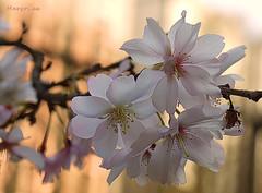 Cherry Branch ... (MargoLuc) Tags: cherry blossoms branch tree spring flowers feeling golden bokeh white petals pink park walk milan italy season