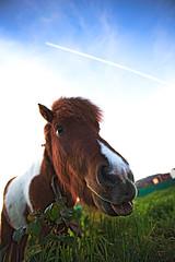 _burlando_ (ALXM_) Tags: caballo horse nature naturaleza fauna cielo sky animal burla lengua tongue taunt divertido funny galicia galiza españa spain canon6d canon tease atardecer sunset pony