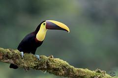 Toucan (Megan Lorenz) Tags: yellowthroatedtoucan chestnutmandibledtoucan toucan bird avian rainforest nature wild wildlife wildanimals travel costarica mlorenz meganlorenz