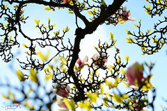 MAGNOLIA (S A Y A D's Photography) Tags: nature magnolia printemps printempsportrait france magnifique summer canon80d color canon couleur fleurs bleu ciel soleil landscape paysage alsace amour strasbourg sunshine sun 70200usmii